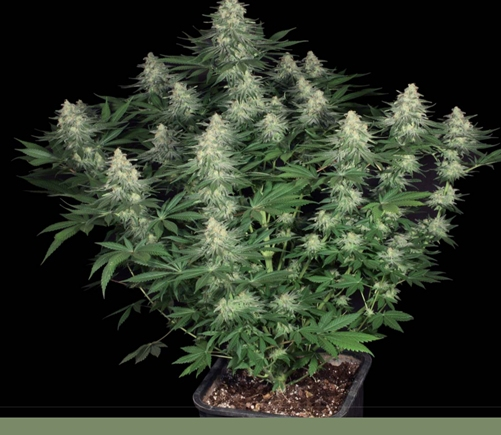 Paradise Seeds Allkush; More Than Just Kush