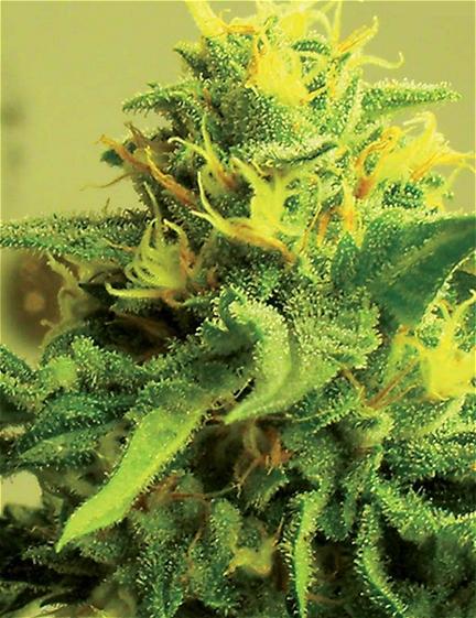 gas lantern cannabis