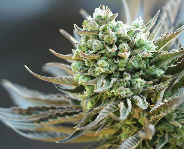 5 Tips for Picking the Right Strain for You